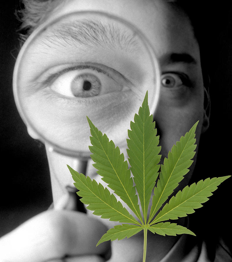 Cannabis Research Photograph  - Cannabis Research Fine Art Print