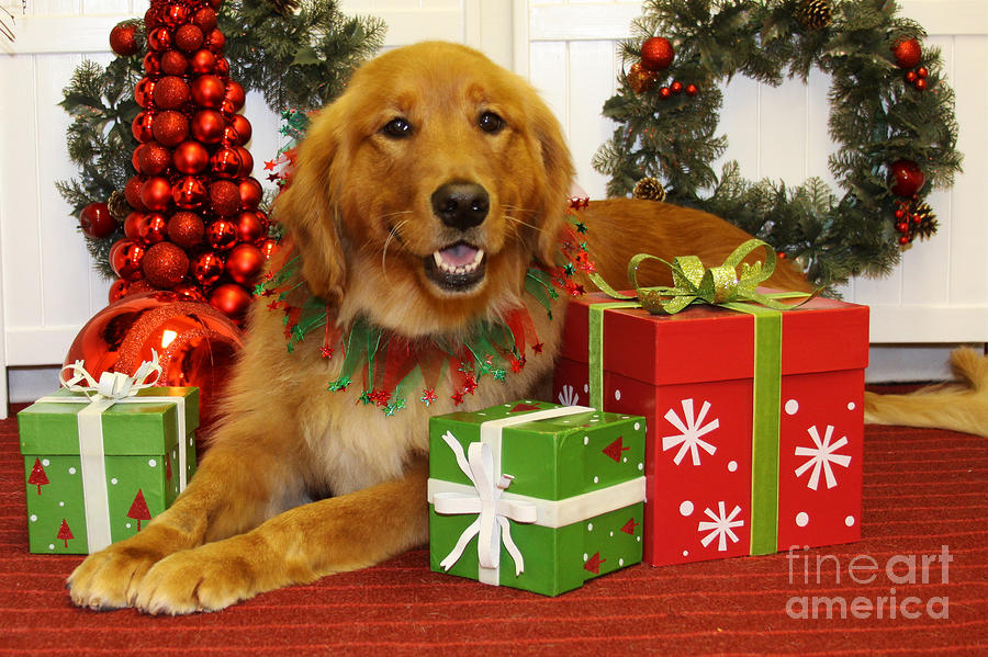 Christmas Portraits  Golden Retriever Renae Frankz