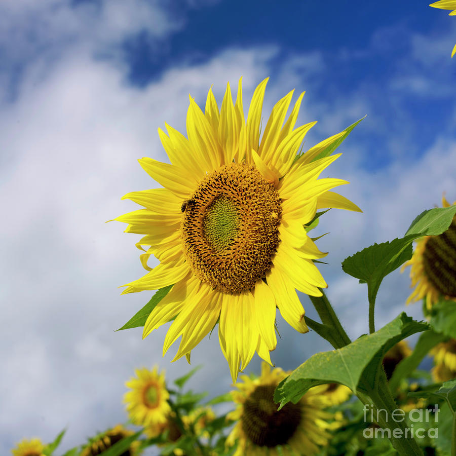Close Up Of Sunflower Photograph  - Close Up Of Sunflower Fine Art Print