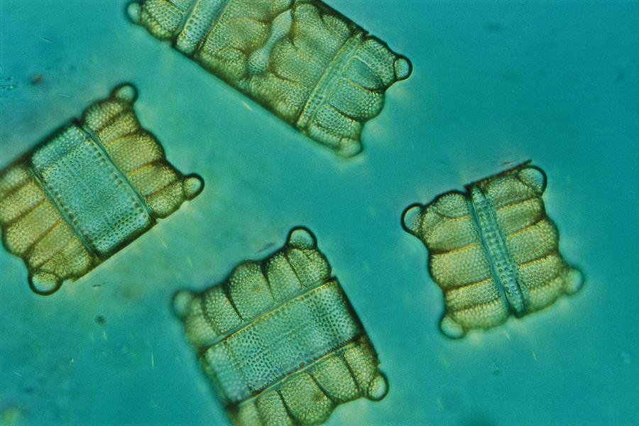 Close View Of Diatoms Photograph