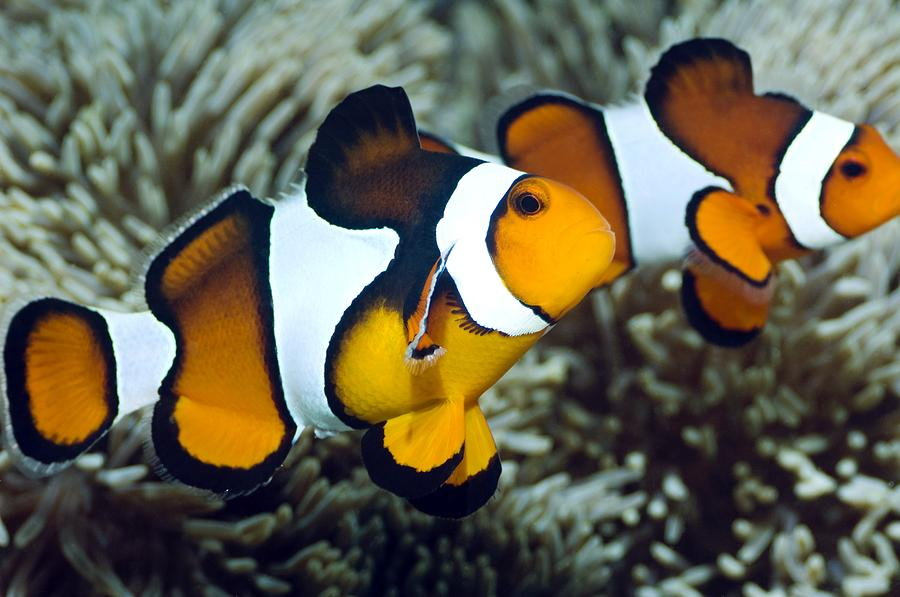 Clown Anemonefish Photograph - Clown Anemonefish by Georgette Douwma