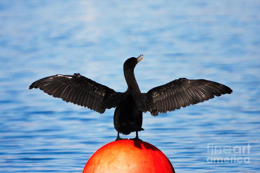Cormorant Photograph