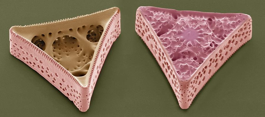 Triceratium Morlandii Photograph - Diatoms, Sem by Steve Gschmeissner