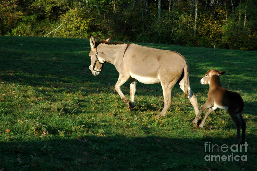 Donkey With Foal Photograph  - Donkey With Foal Fine Art Print