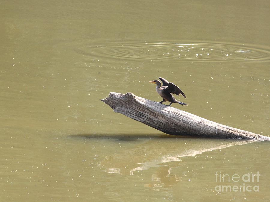 Double-crested Cormorant Photograph  - Double-crested Cormorant Fine Art Print