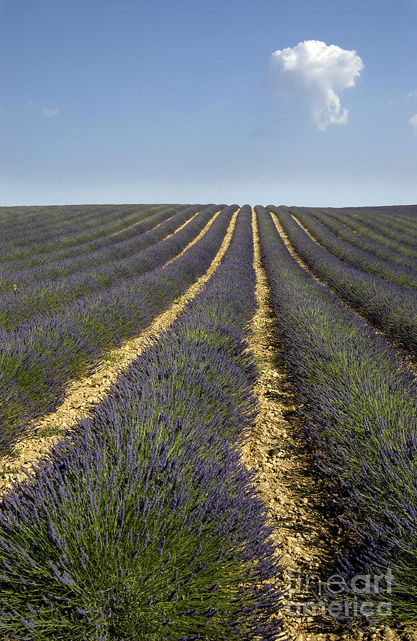 Field Of Lavender. Provence Photograph  - Field Of Lavender. Provence Fine Art Print