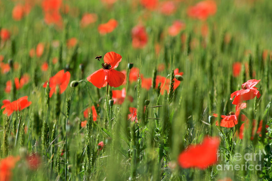 Field Of Poppies. Photograph  - Field Of Poppies. Fine Art Print