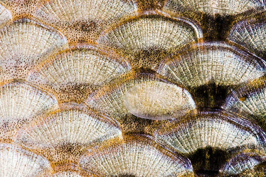 Fish Scales Background Photograph