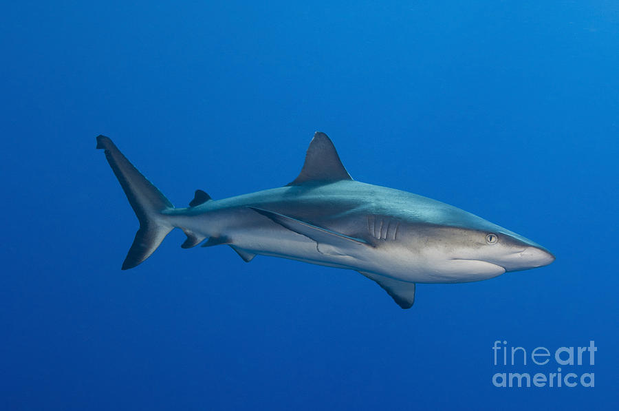 Gray Reef Shark, Kimbe Bay, Papua New Photograph
