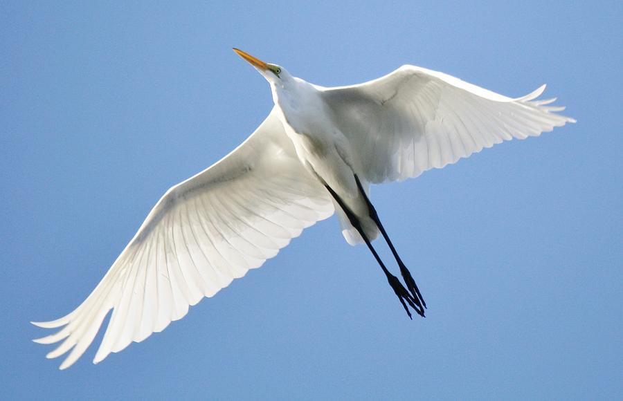 Great White Egret In Flight Photograph  - Great White Egret In Flight Fine Art Print