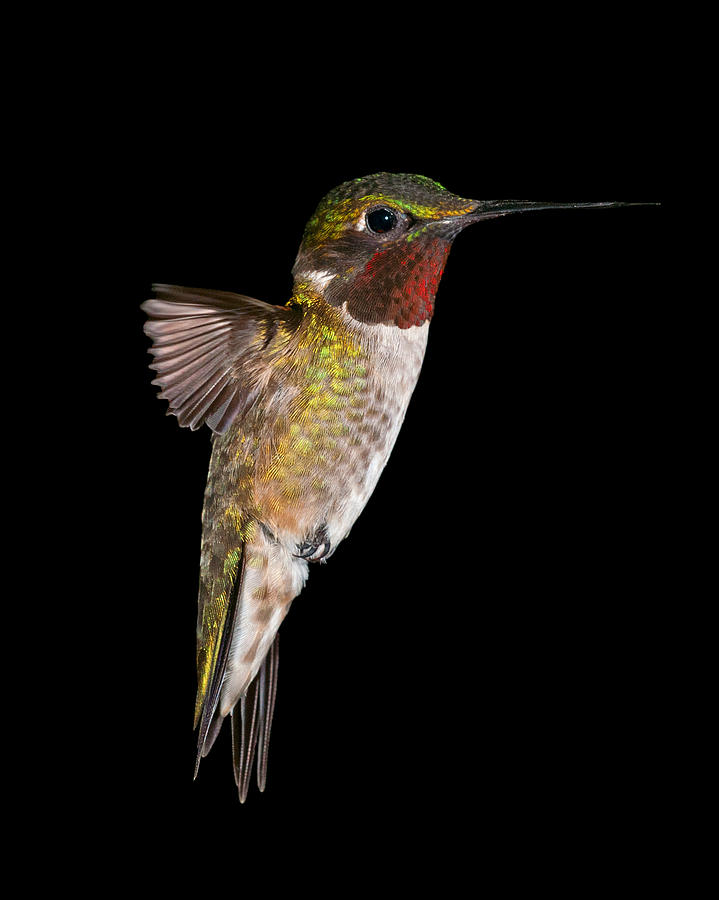 Hummingbird Series Photograph  - Hummingbird Series Fine Art Print