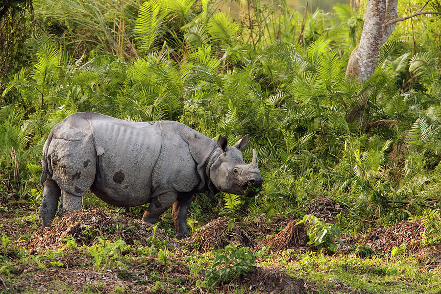 Indian Rhinoceros Rhinoceros Unicornis Photograph  - Indian Rhinoceros Rhinoceros Unicornis Fine Art Print