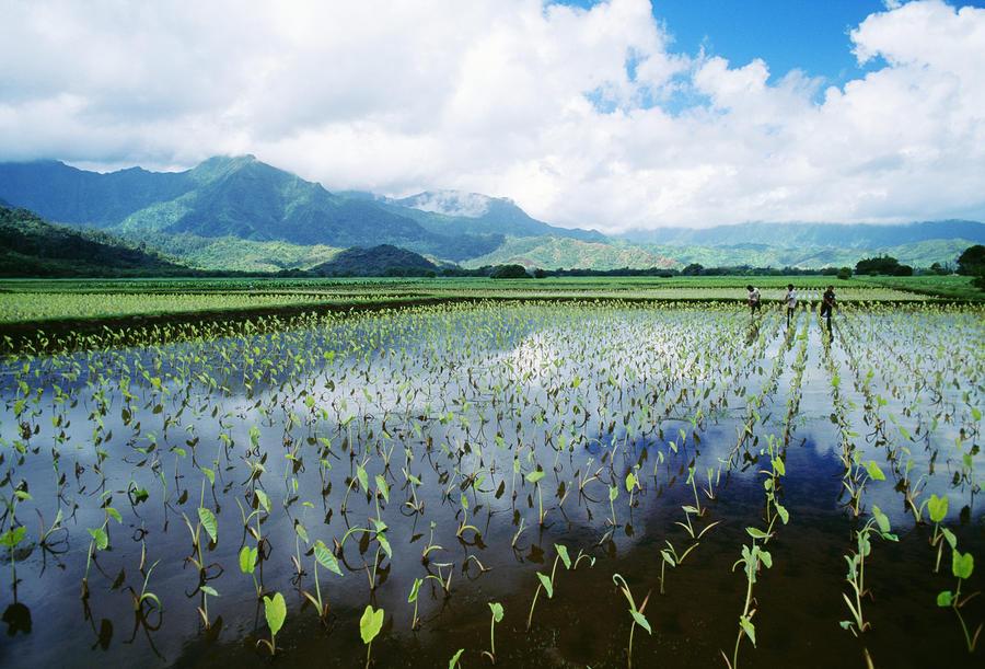 Kauai, Wet Taro Farm Photograph