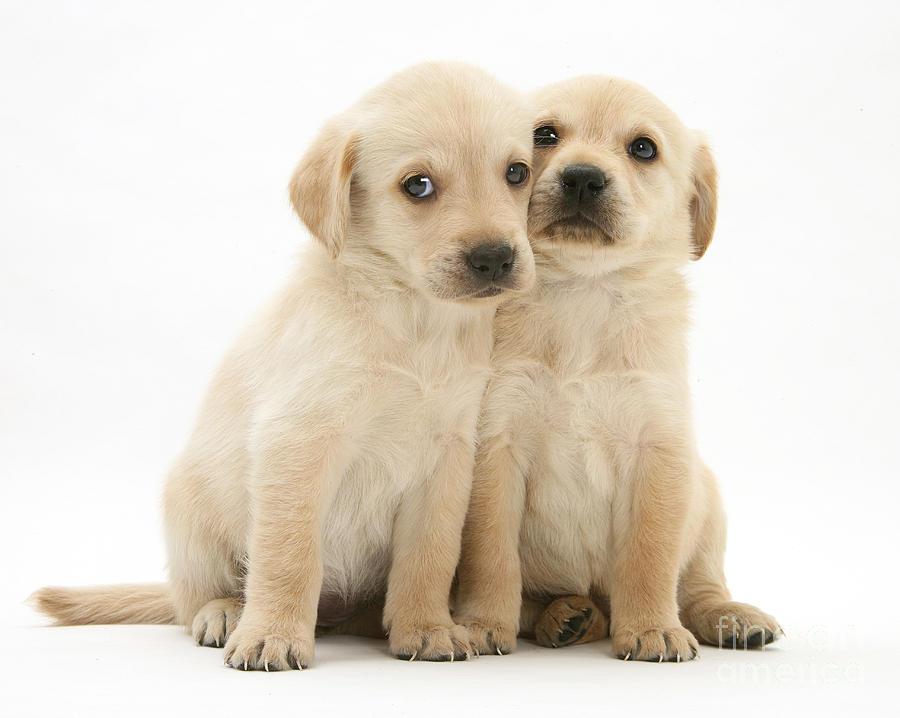 Labrador Retriever Puppies Photograph