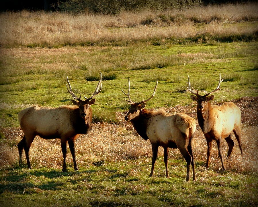 3 Magnificent Bull Elk Photograph  - 3 Magnificent Bull Elk Fine Art Print