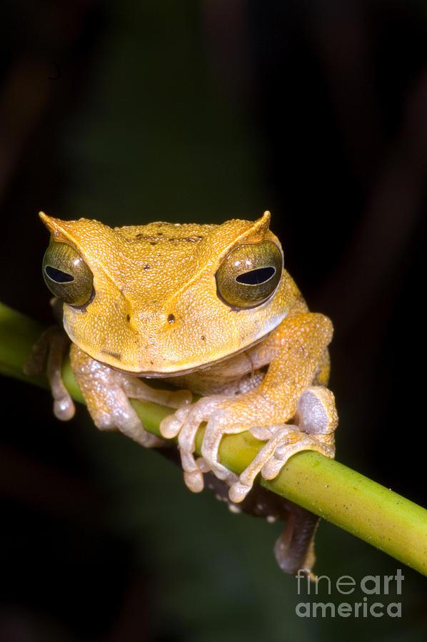 Marsupial Frog Photograph