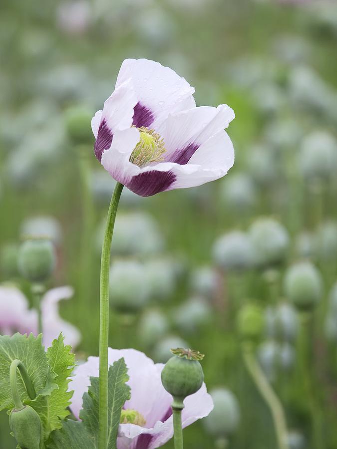 opium papaver somniferum essay