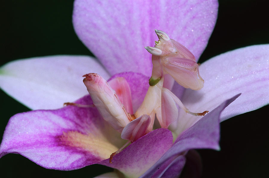 Mp Photograph - Orchid Mantis Hymenopus Coronatus by Thomas Marent