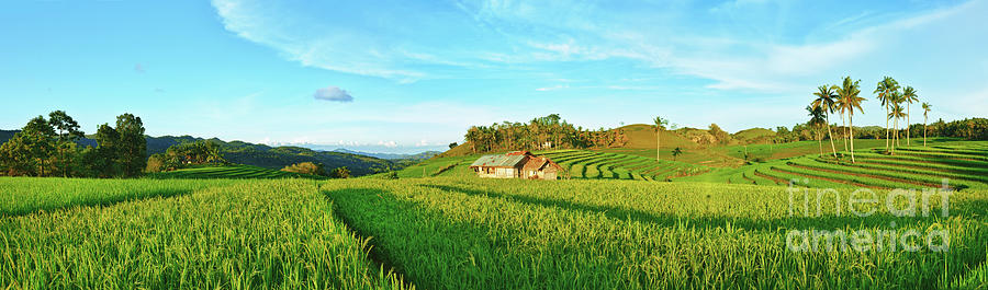 Paddy Rice Panorama Photograph