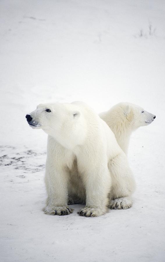 Ursus Maritimus Photograph - Polar Bear And Cub by Chris Martin-bahr