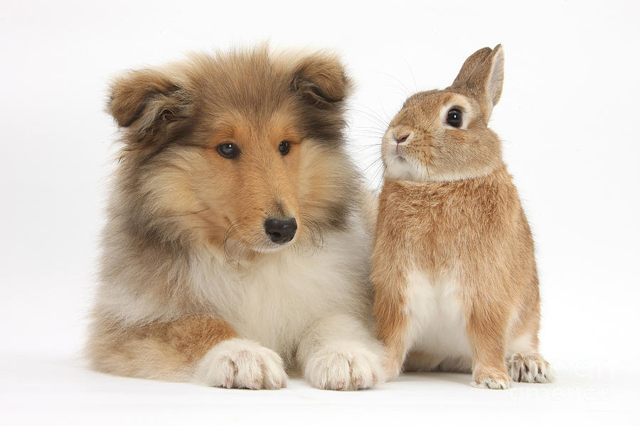 Rough Collie Pup With Rabbit Photograph