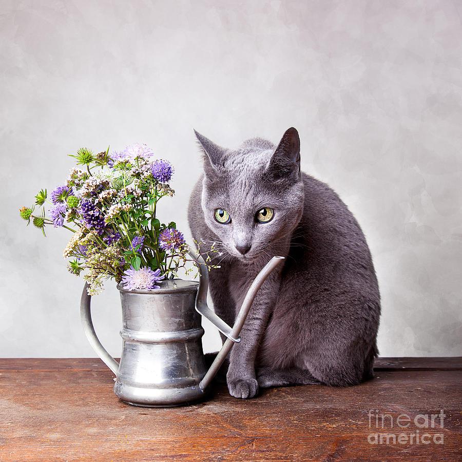 Cat Photograph - Russian Blue by Nailia Schwarz