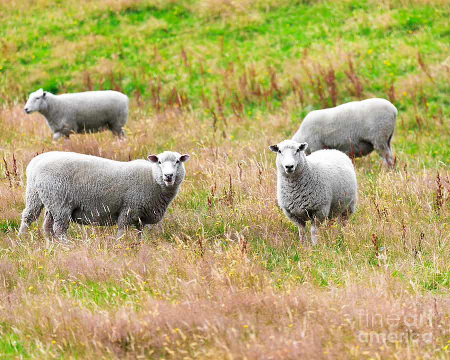 Sheeps Photograph  - Sheeps Fine Art Print