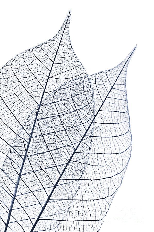 Skeleton Leaves Photograph