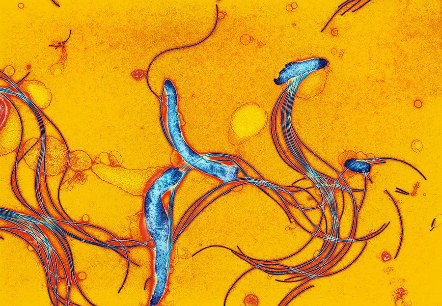 Bacteria spirochetes
