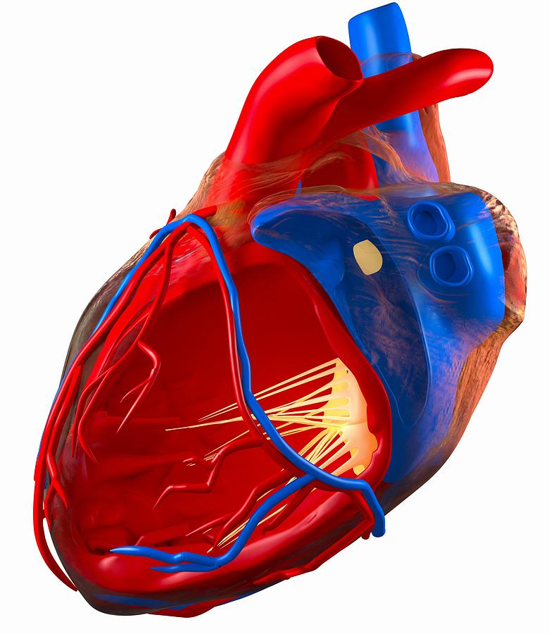 Structure Of A Human Heart, Artwork Photograph