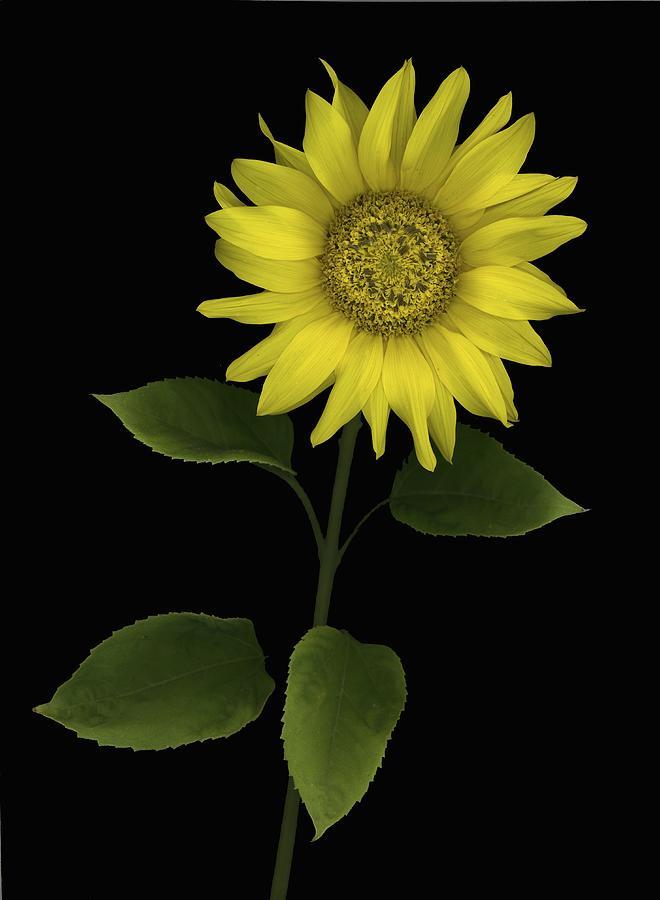 Blooming Photograph - Sunflower by Deddeda