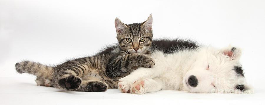 Tabby Kitten & Border Collie Photograph