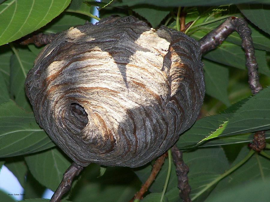 Wasp Nest Photograph  - Wasp Nest Fine Art Print