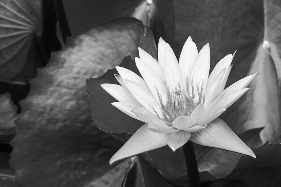 Water Lily Photograph