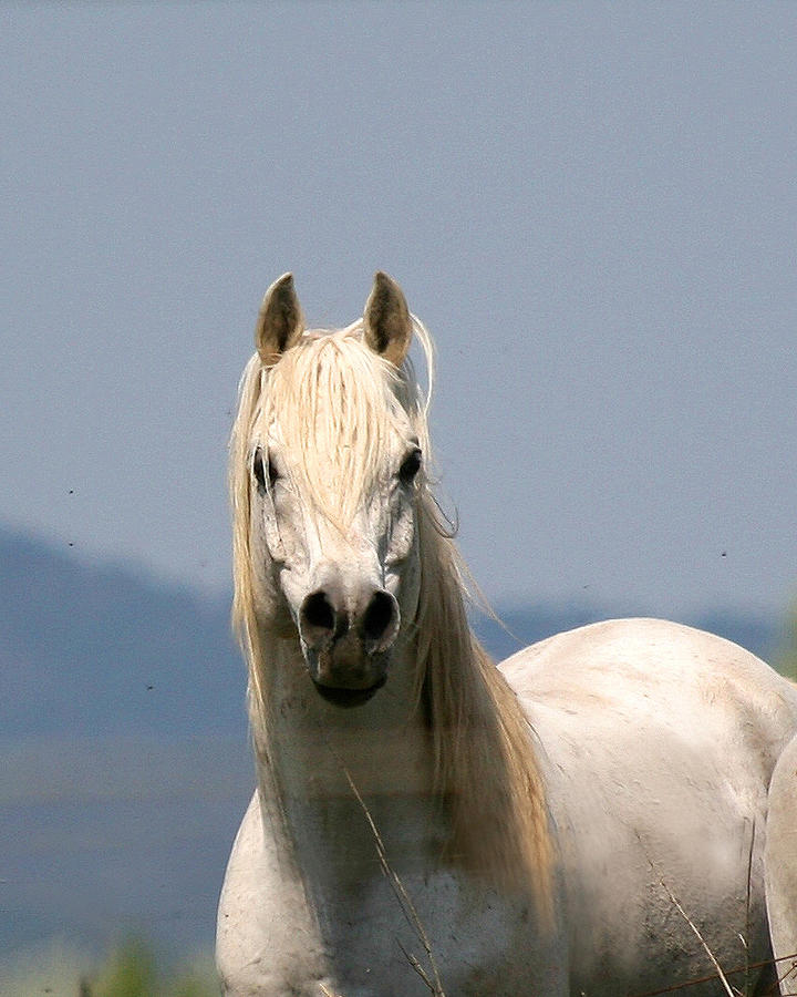 White Arabian Stallion Photograph 