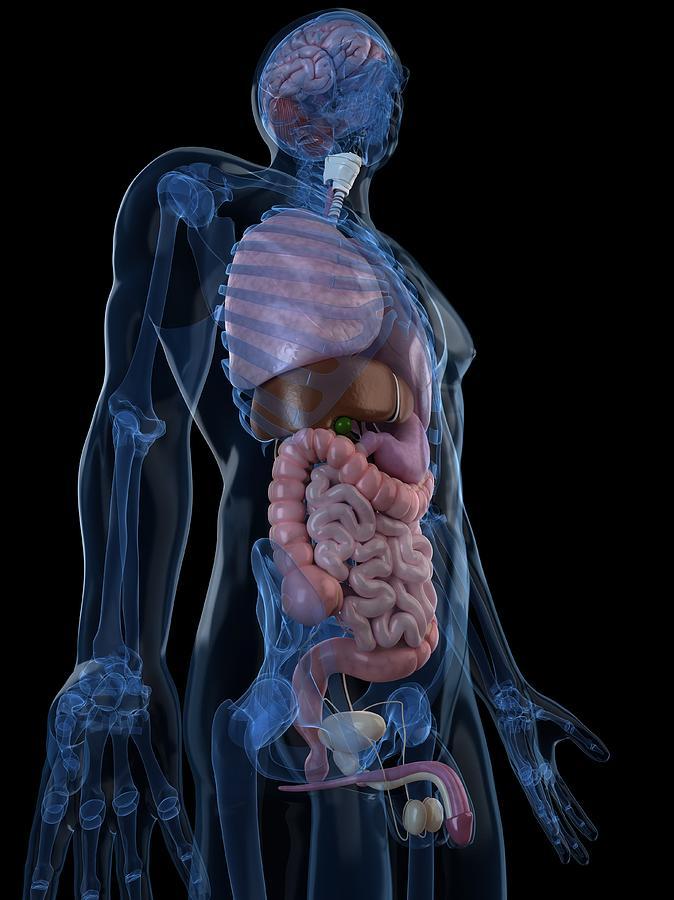Male Anatomy, Artwork Digital Art