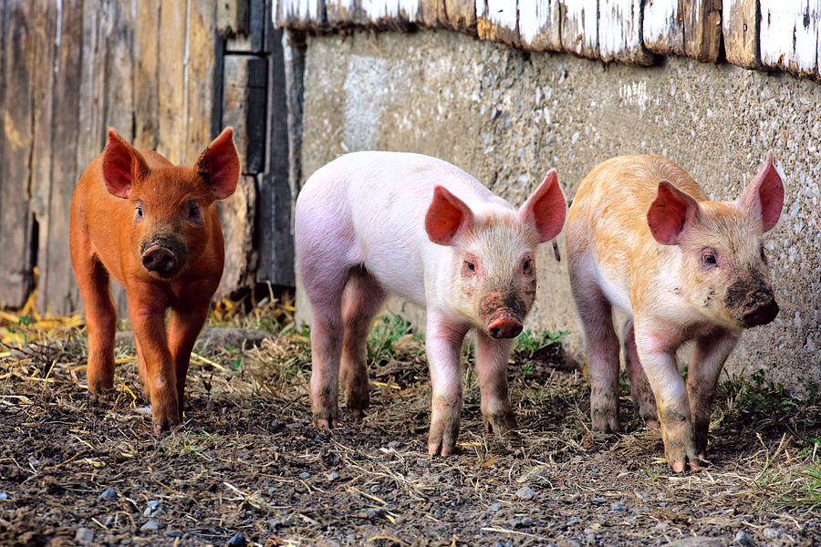 3three Little Pigs  Photograph  - 3three Little Pigs  Fine Art Print
