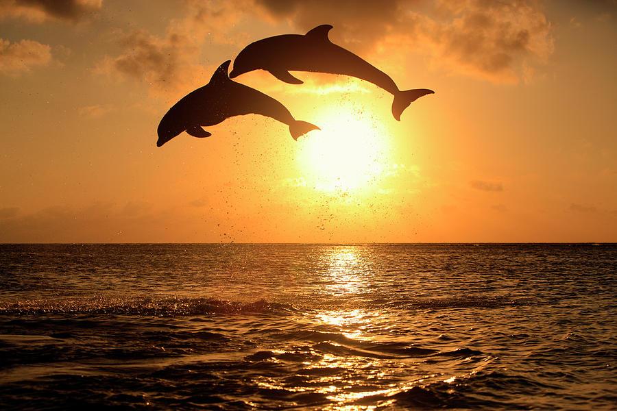Delfin (grosser Tuemmler) Photograph