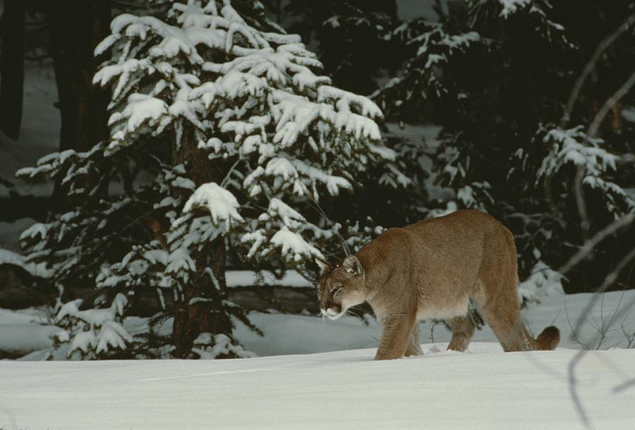 A Mountain Lion, Felis Concolor Photograph  - A Mountain Lion, Felis Concolor Fine Art Print