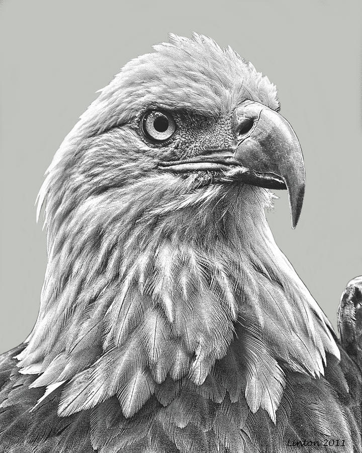 American Bald Eagle Digital Art  - American Bald Eagle Fine Art Print