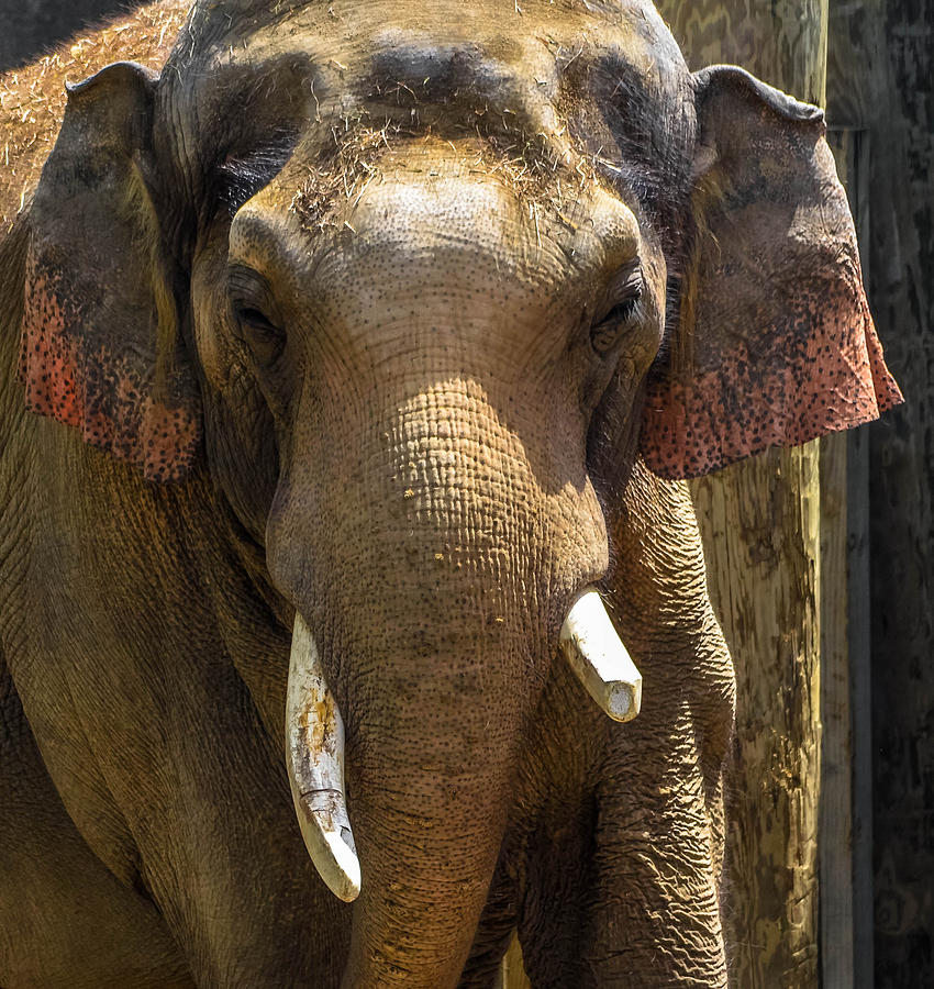 Asian Elephant Photograph by Brian Stevens