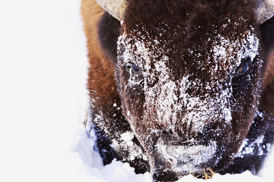 Bison In Winter Photograph  - Bison In Winter Fine Art Print