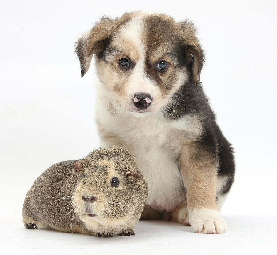 Border Collie Pup And Guinea Pig Photograph