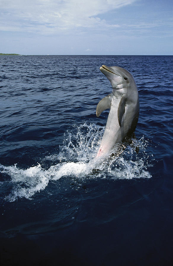 Bottlenose Dolphin Tursiops Truncatus Photograph