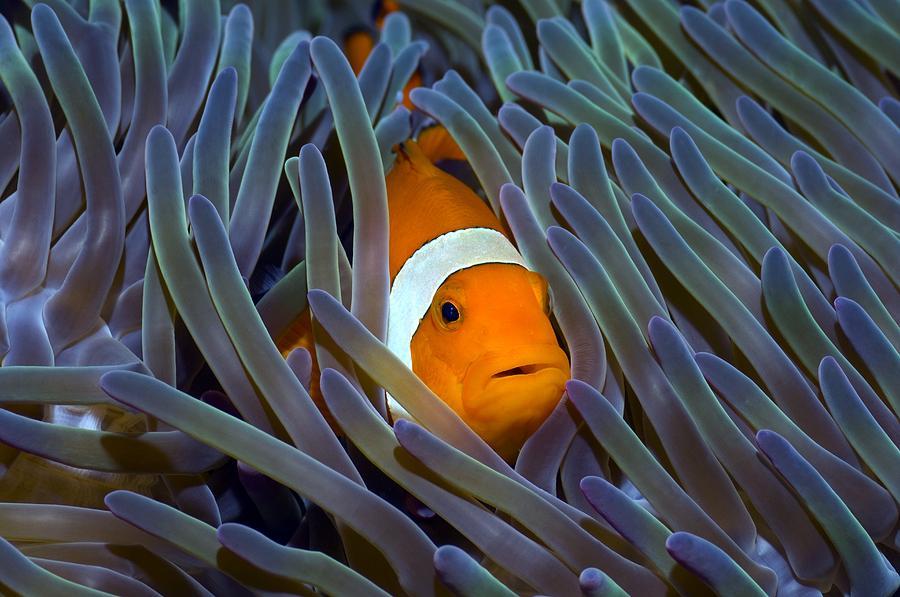 False Clown Anemonefish Photograph