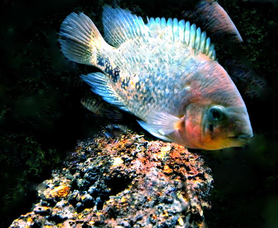 Colette Photograph - Fish Living In Denmark by Colette V Hera  Guggenheim