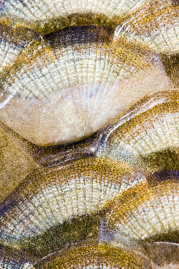 Abstract Photograph - Fish Scales Background by Odon Czintos