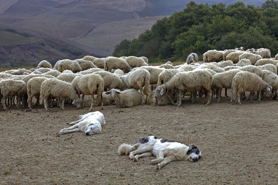 Flock Of Sheep Photograph