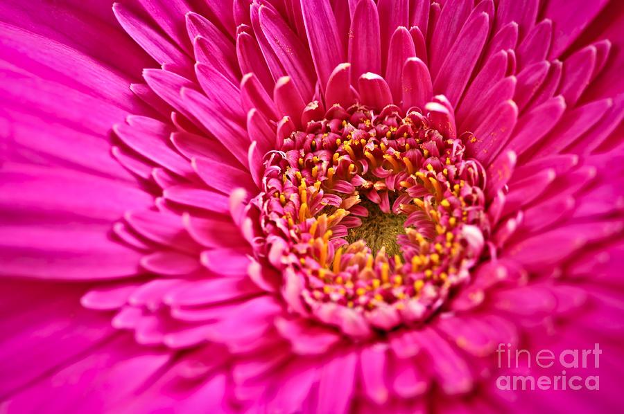 Gerbera Flower Photograph