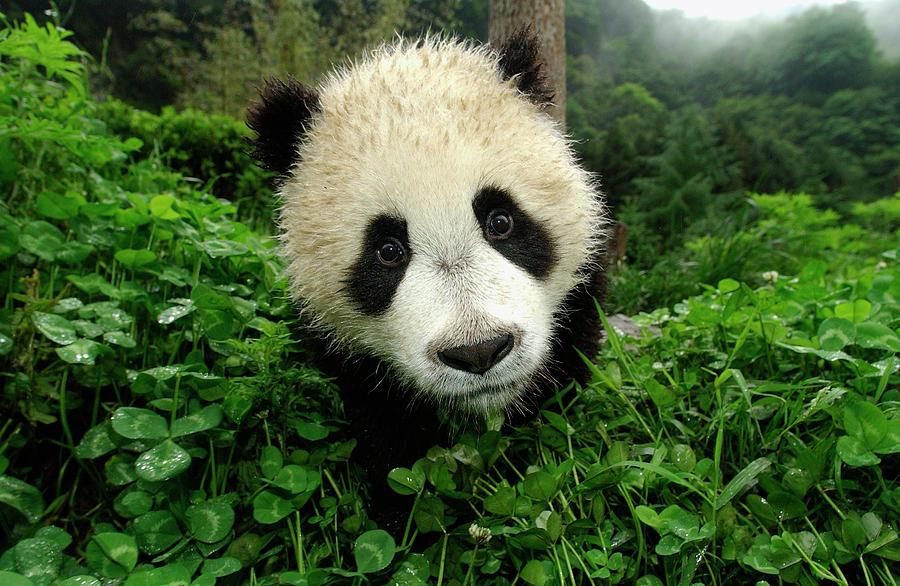 Mp Photograph - Giant Panda Ailuropoda Melanoleuca by Katherine Feng